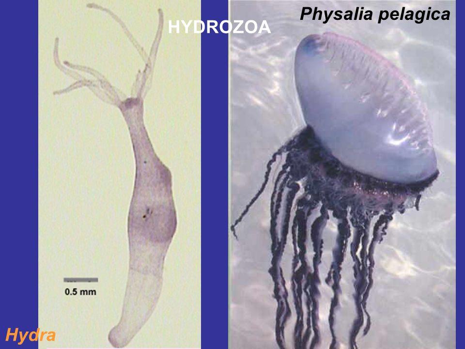 Physalia pelagica HYDROZOA Hydra