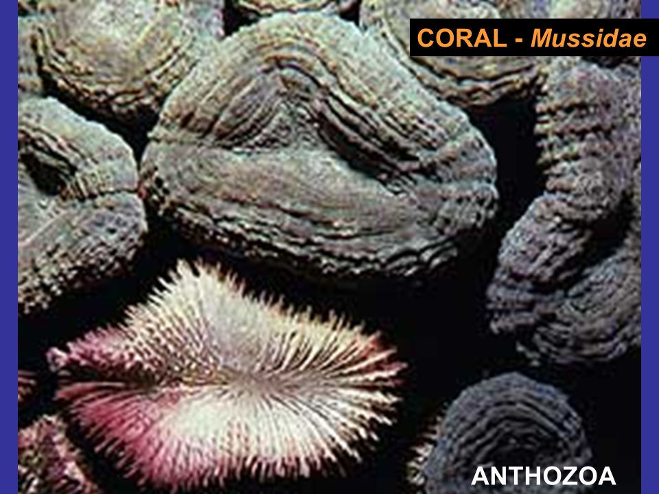 CORAL - Mussidae ANTHOZOA