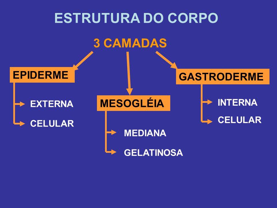 ESTRUTURA DO CORPO 3 CAMADAS EPIDERME GASTRODERME MESOGLÉIA INTERNA