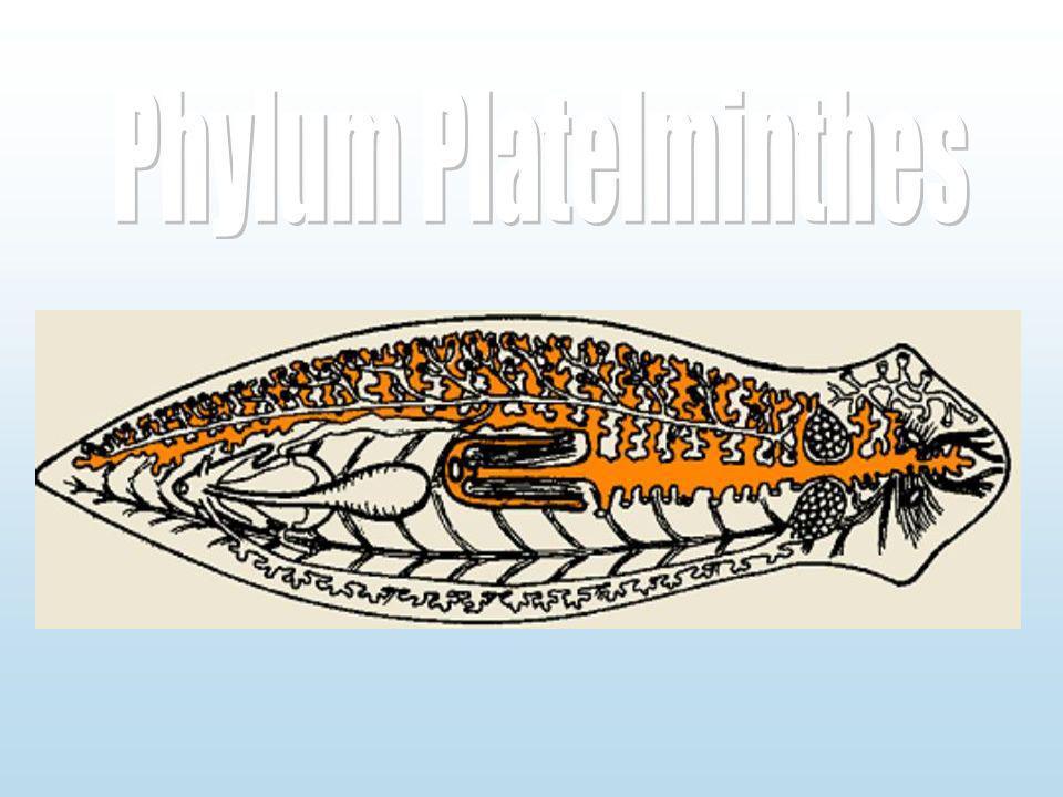 Phylum Platelminthes