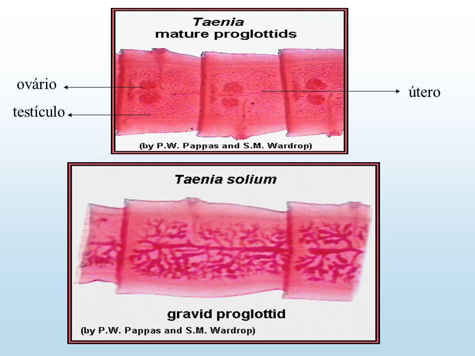 ovário útero testículo