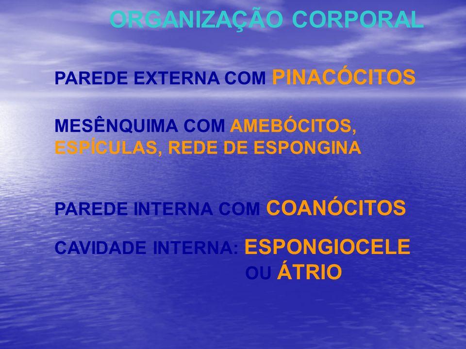 ORGANIZAÇÃO CORPORAL PAREDE EXTERNA COM PINACÓCITOS