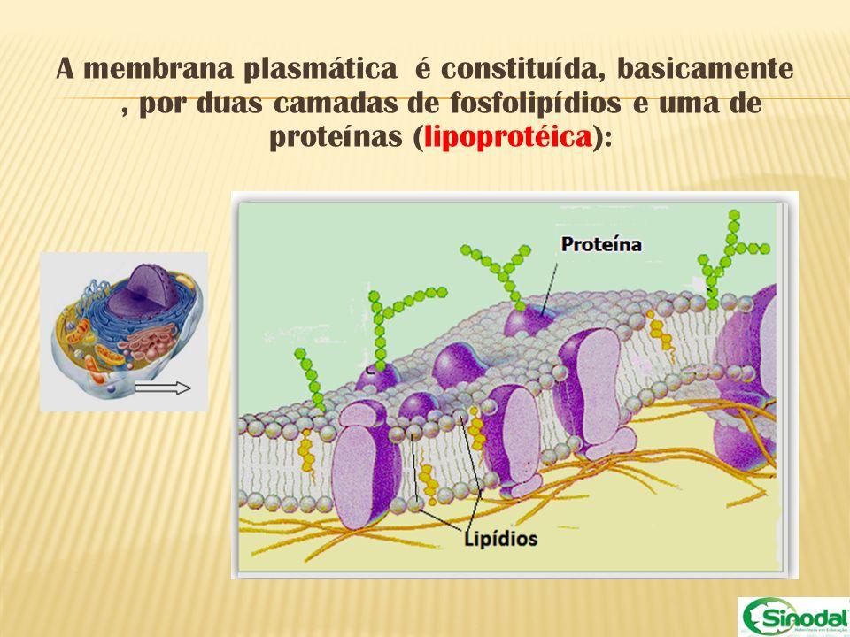 A membrana plasmática é constituída, basicamente , por duas camadas de fosfolipídios e uma de proteínas (lipoprotéica):