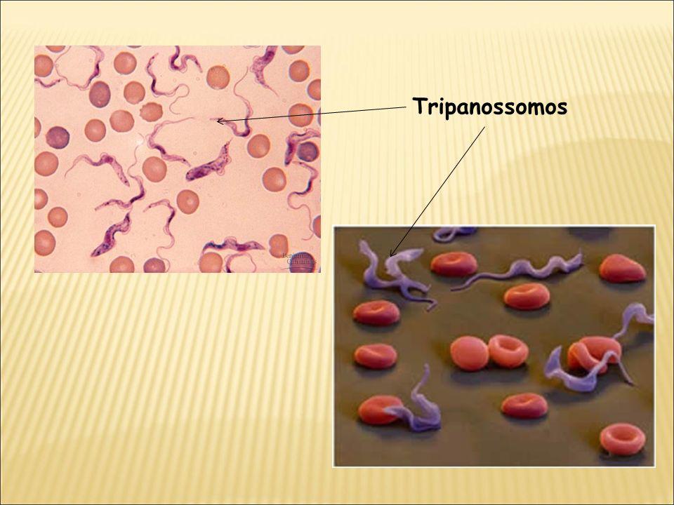 Tripanossomos