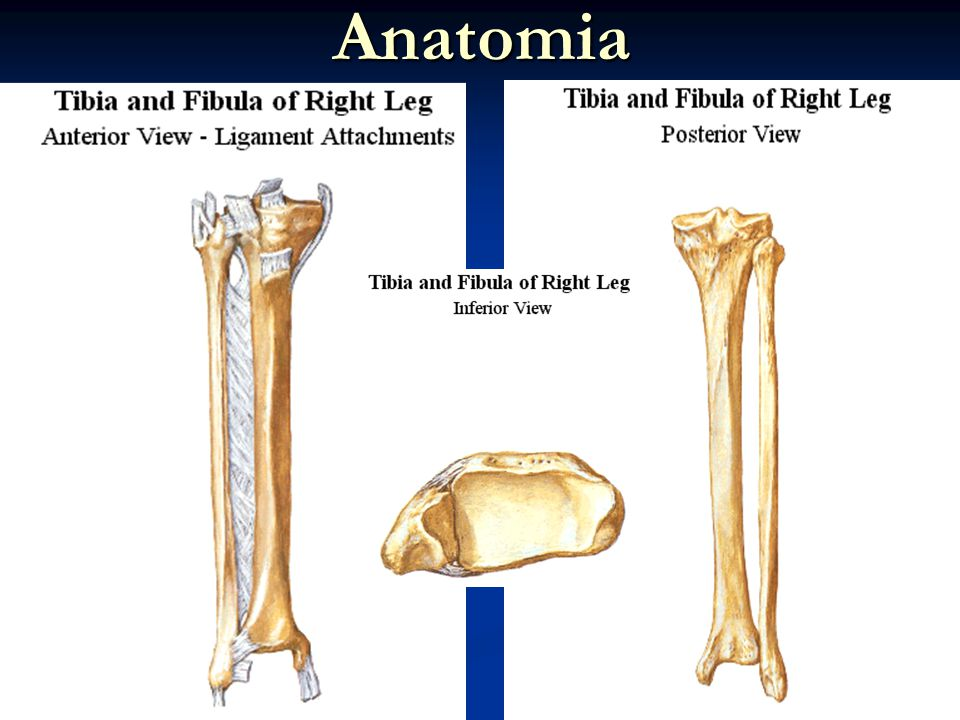 Lujoso Anatomía De La Tibia Patrón - Imágenes de Anatomía Humana ...
