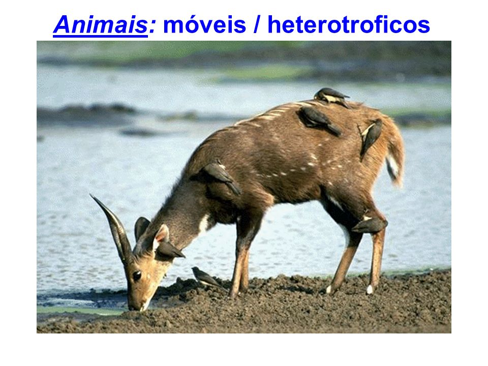 Animais: móveis / heterotroficos