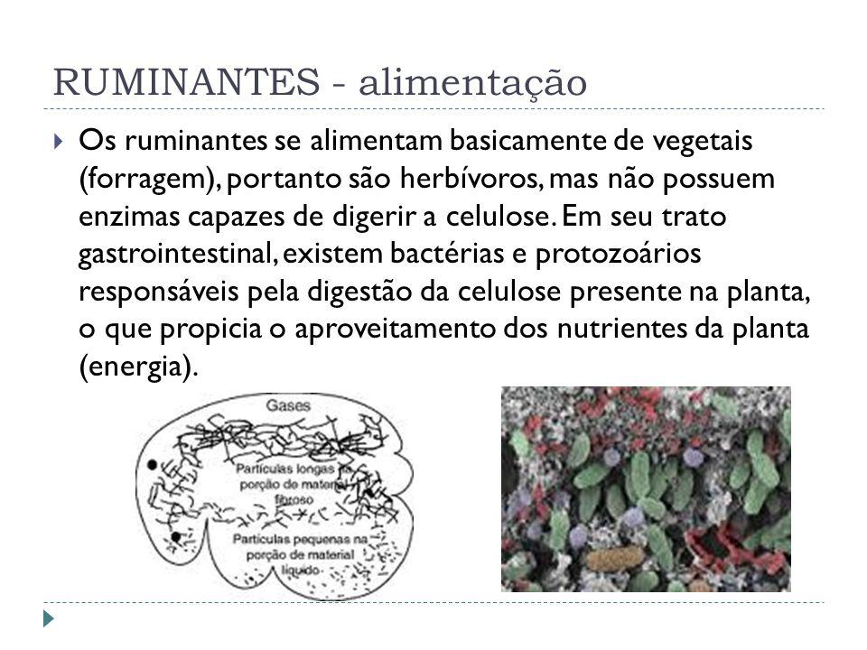RUMINANTES - alimentação