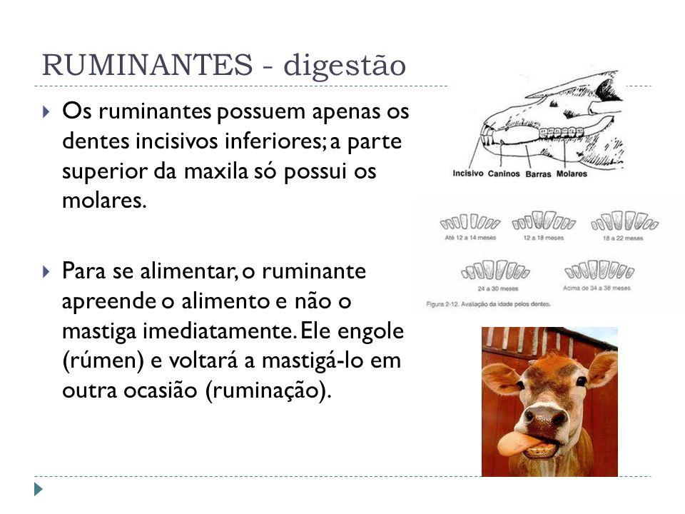 RUMINANTES - digestão Os ruminantes possuem apenas os dentes incisivos inferiores; a parte superior da maxila só possui os molares.