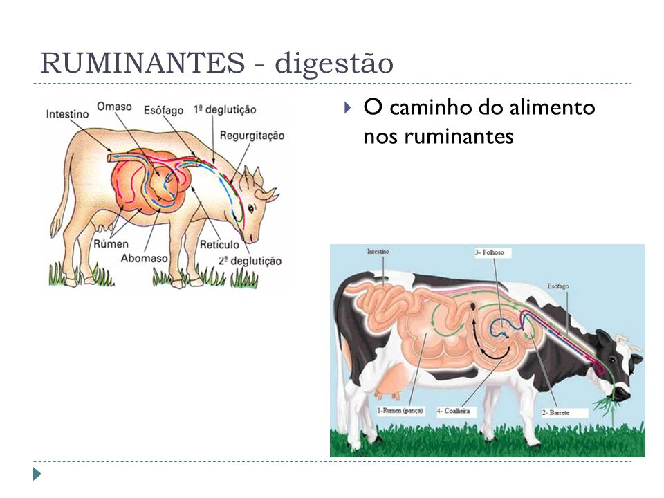 RUMINANTES - digestão O caminho do alimento nos ruminantes