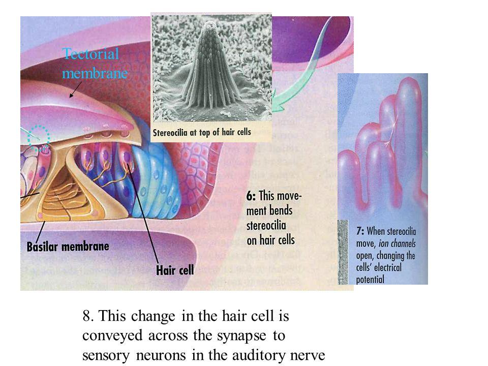 Tectorial membrane 8.