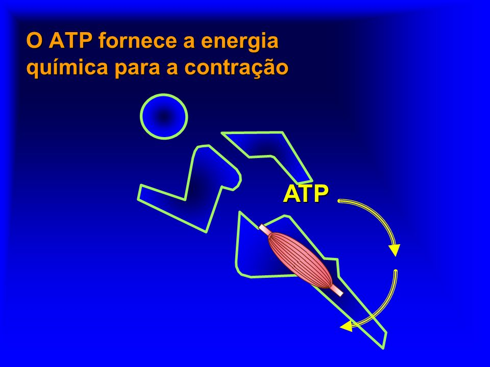 O ATP fornece a energia química para a contração