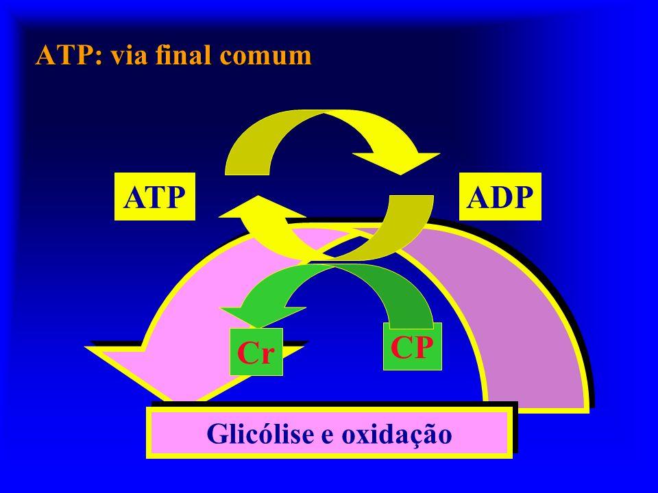ATP ADP CP Cr ATP: via final comum Glicólise e oxidação