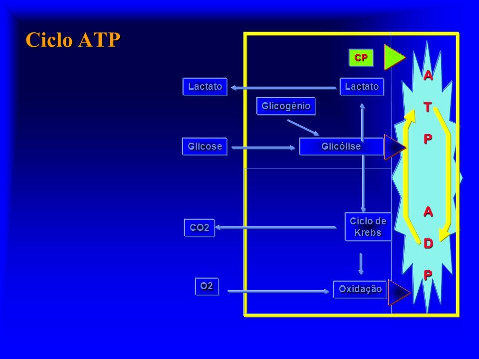 Ciclo ATP A T P D CP Lactato Glicogênio Glicose Glicólise Oxidação