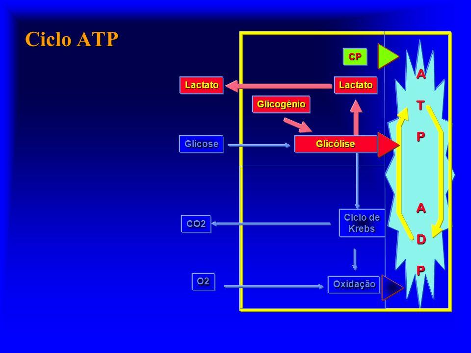 Ciclo ATP A T P D CP Glicogênio Glicólise Lactato Glicose Oxidação