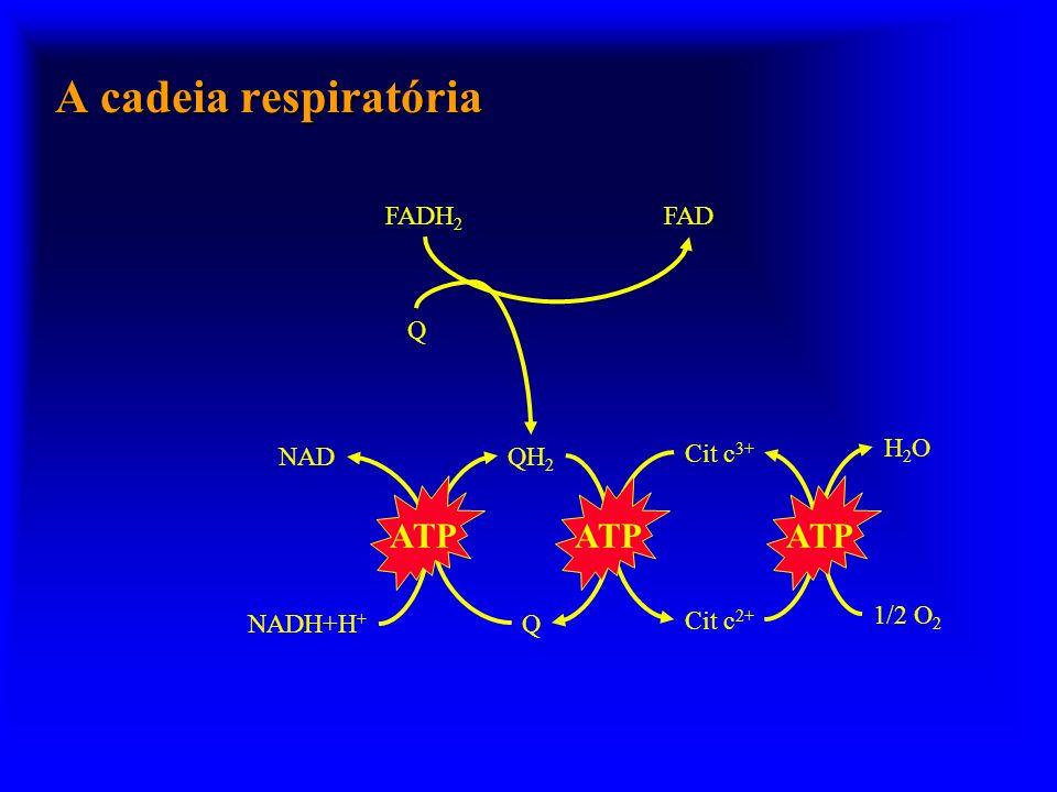 A cadeia respiratória ATP ATP ATP FADH2 FAD Q Cit c3+ H2O NAD QH2