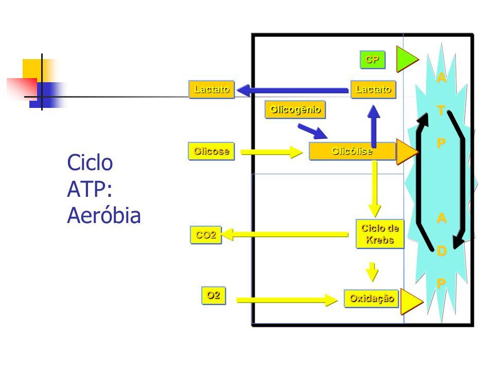 Ciclo ATP: Aeróbia A T P D CP Lactato Glicogênio Glicose Glicólise