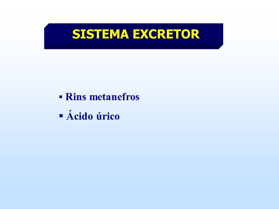 SISTEMA EXCRETOR Rins metanefros Ácido úrico
