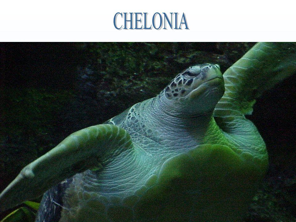 CHELONIA