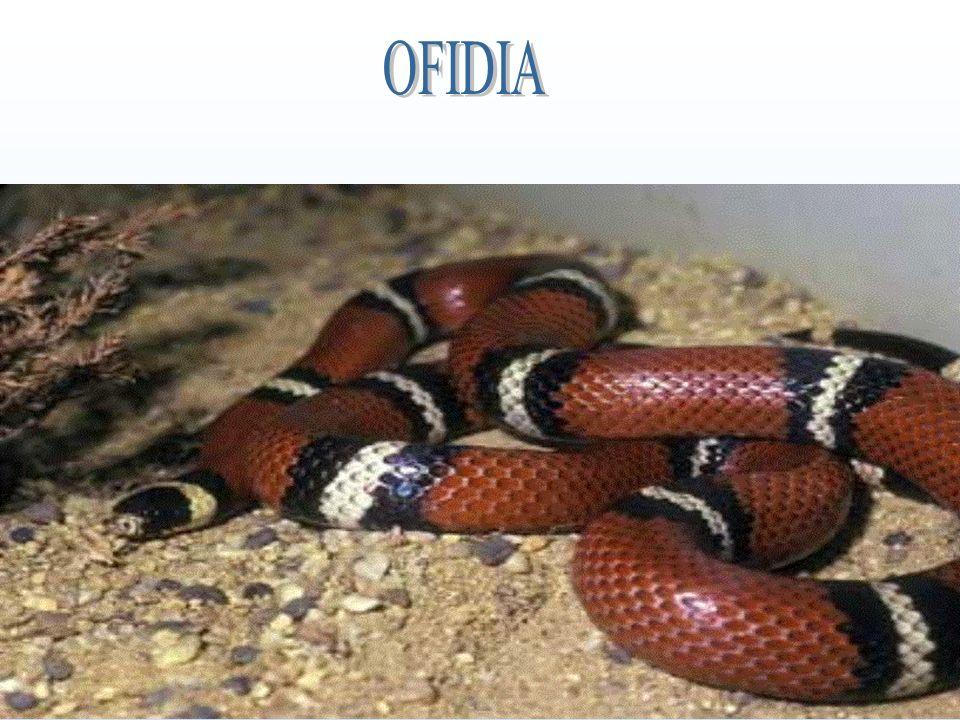 OFIDIA