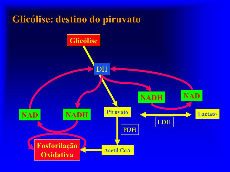 Glicólise: destino do piruvato