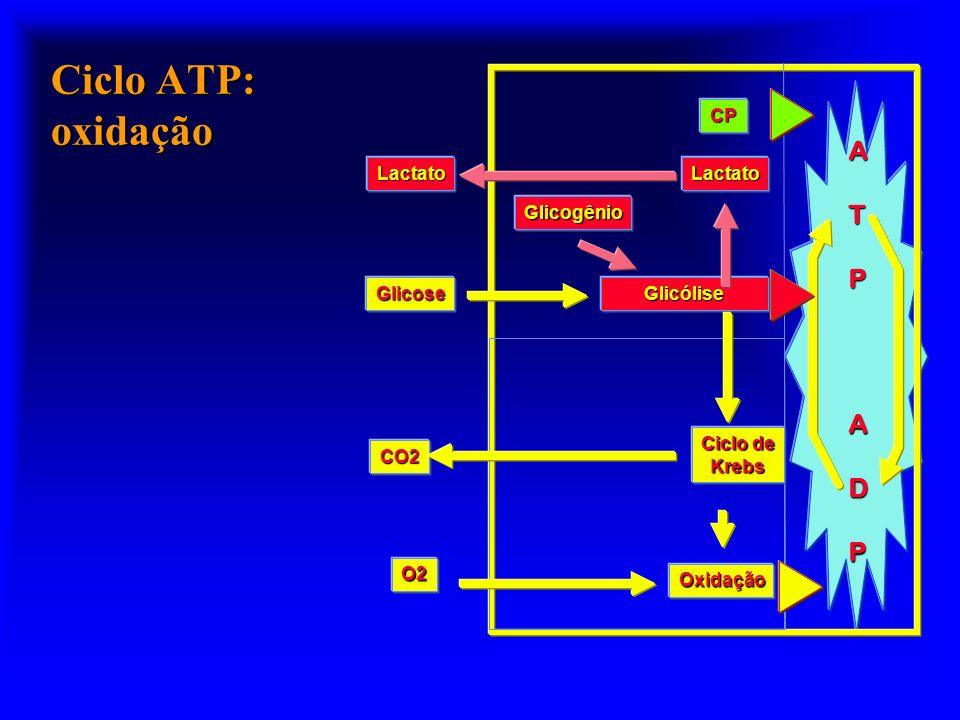 Ciclo ATP: oxidação A T P D CP Lactato Glicogênio Glicose Glicólise