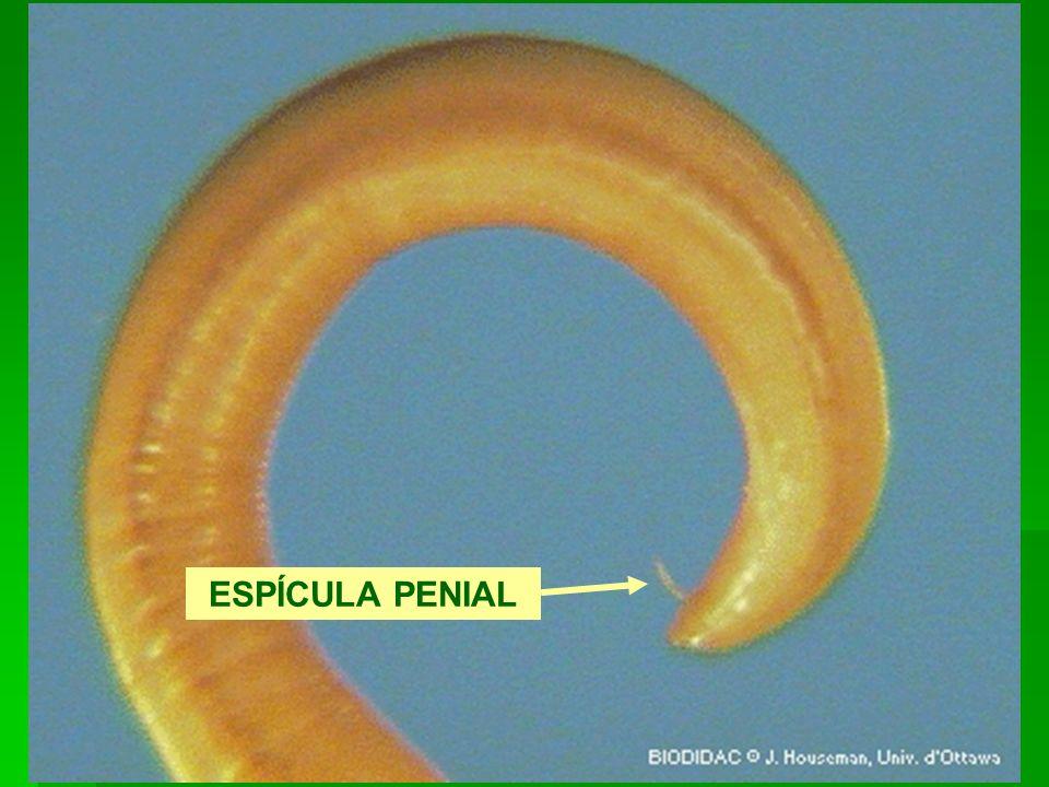ESPÍCULA PENIAL