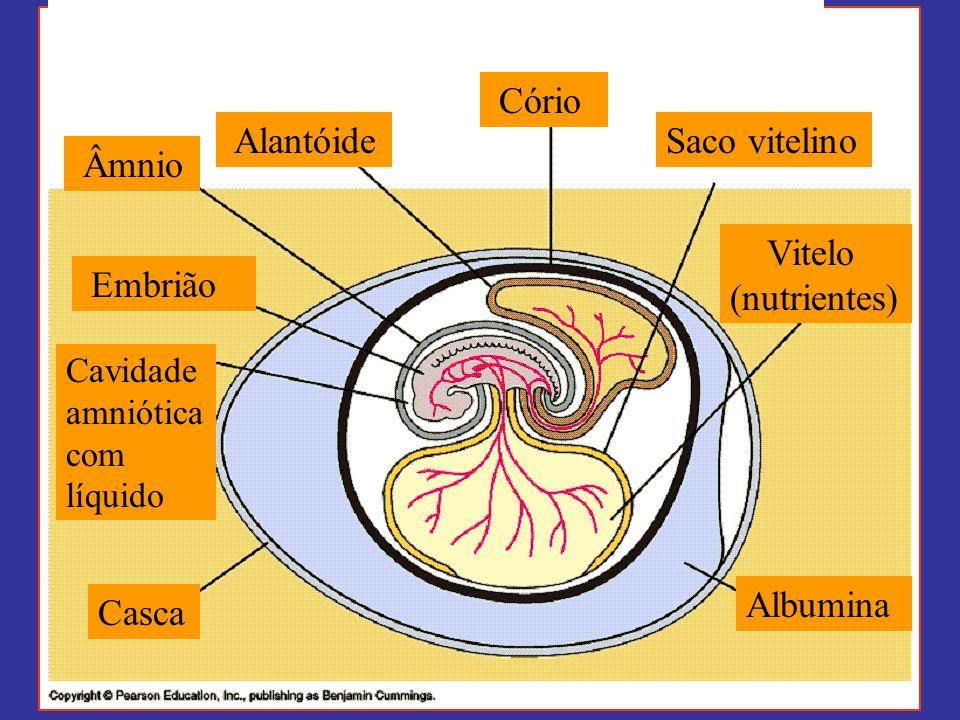 Cório Saco vitelino Âmnio Vitelo (nutrientes) Embrião Albumina Casca