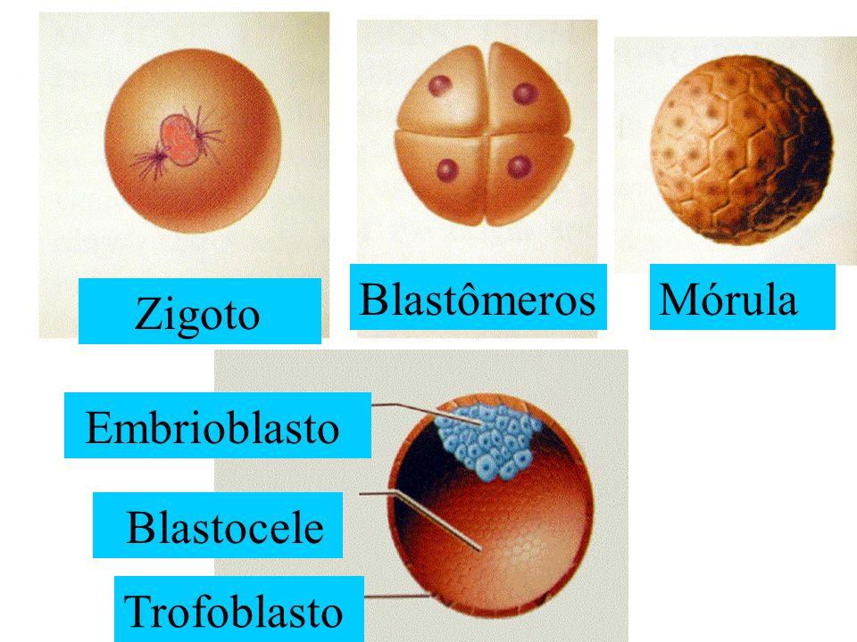 Blastômeros Mórula Zigoto Embrioblasto Blastocele Trofoblasto