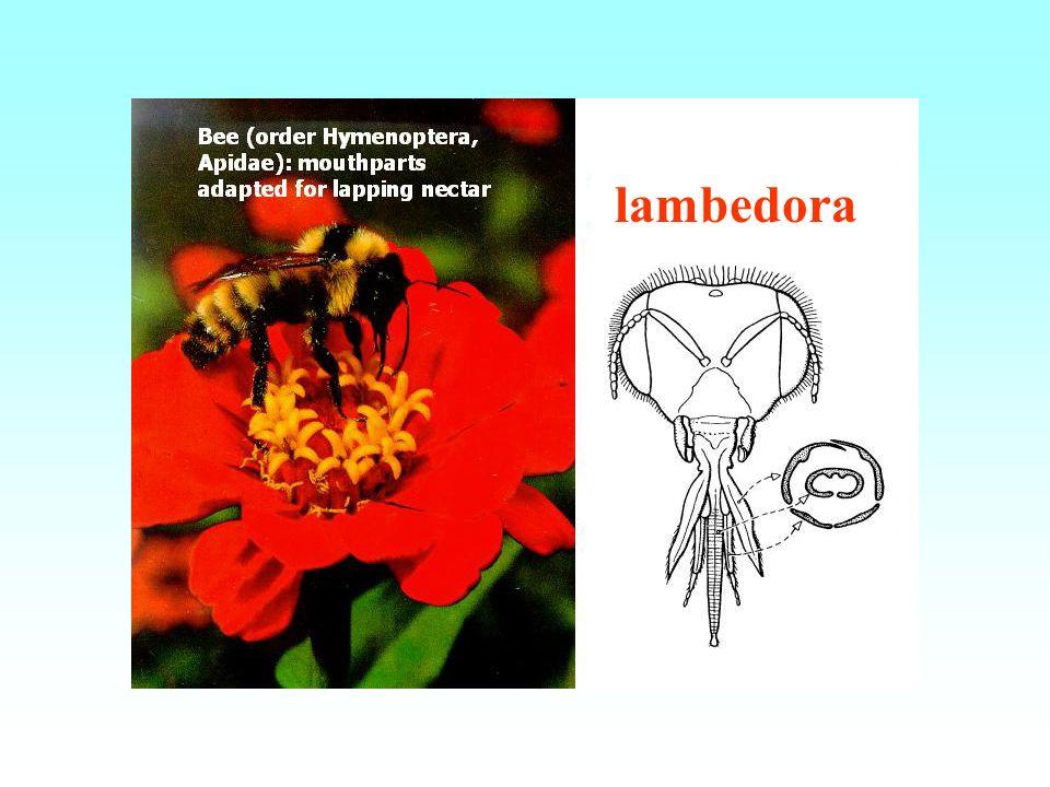 lambedora