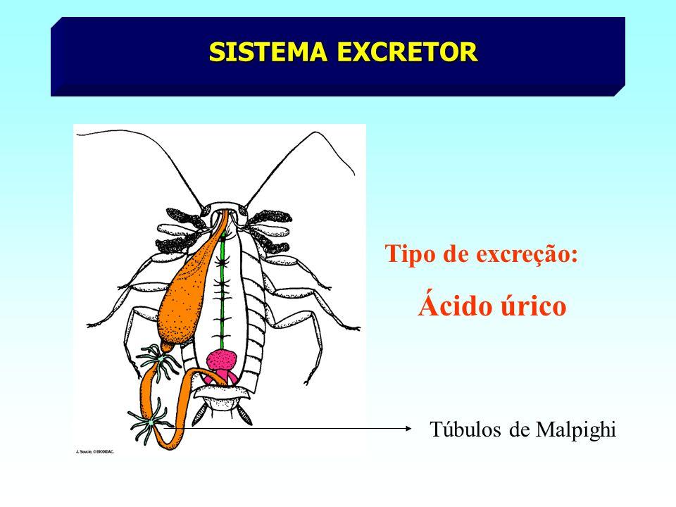 SISTEMA EXCRETOR Tipo de excreção: Ácido úrico Túbulos de Malpighi