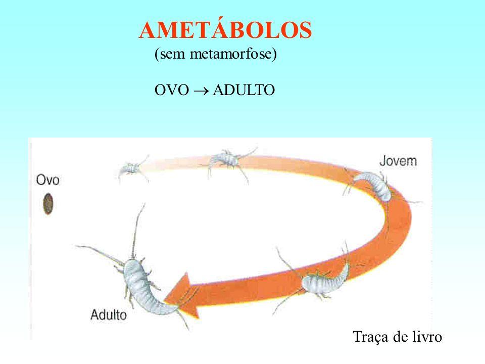 AMETÁBOLOS (sem metamorfose) OVO  ADULTO Traça de livro