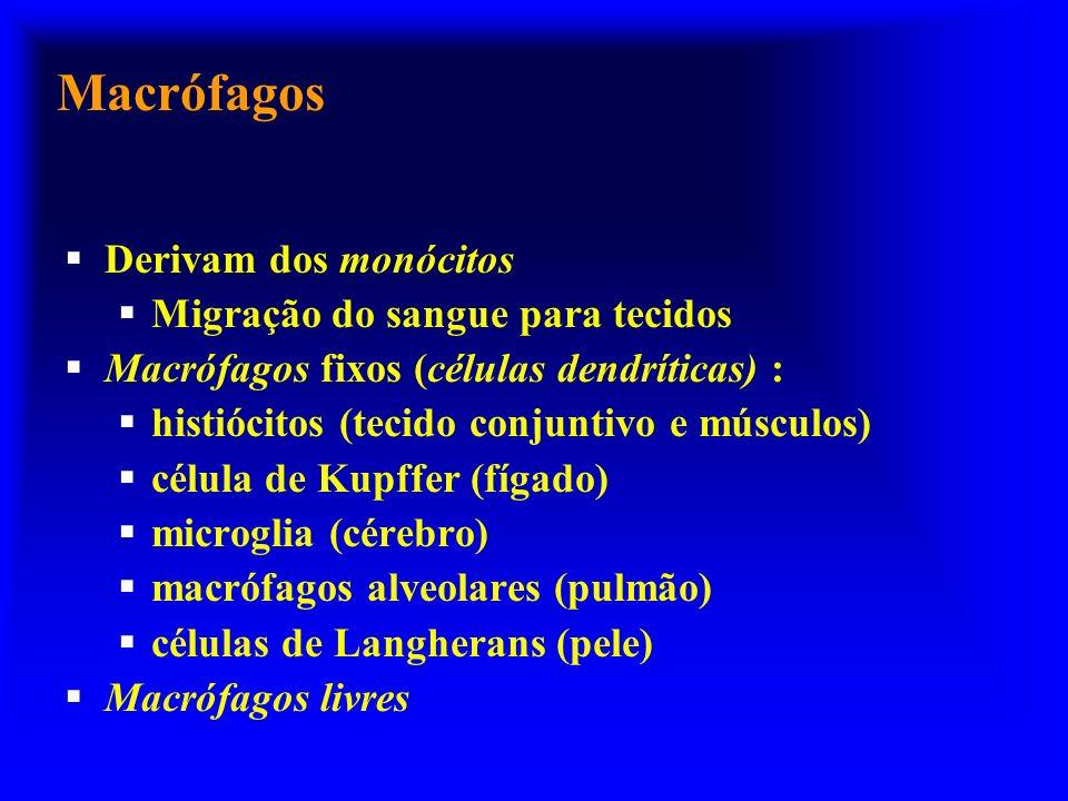 Macrófagos Derivam dos monócitos Migração do sangue para tecidos