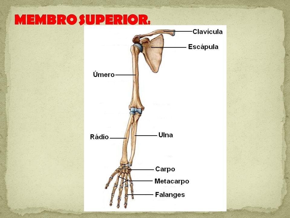MEMBRO SUPERIOR: