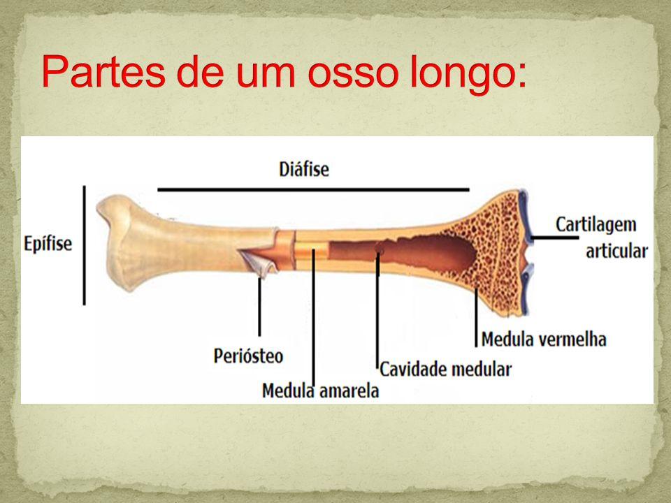 Partes de um osso longo: