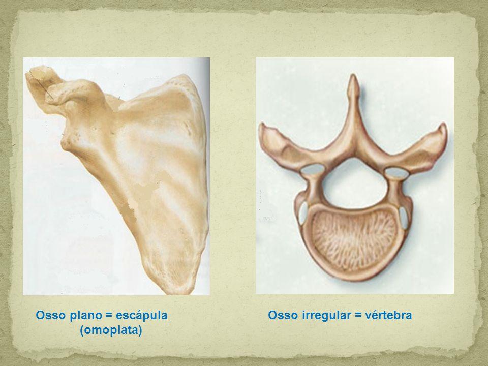 Osso plano = escápula (omoplata) Osso irregular = vértebra