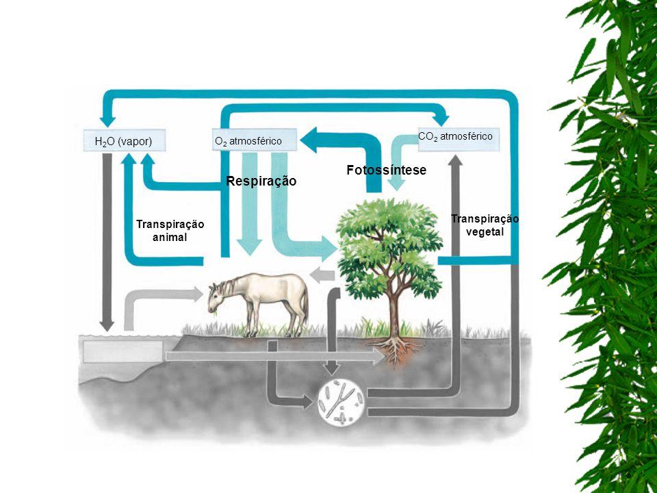 Fotossíntese Respiração H2O (vapor) Transpiração vegetal