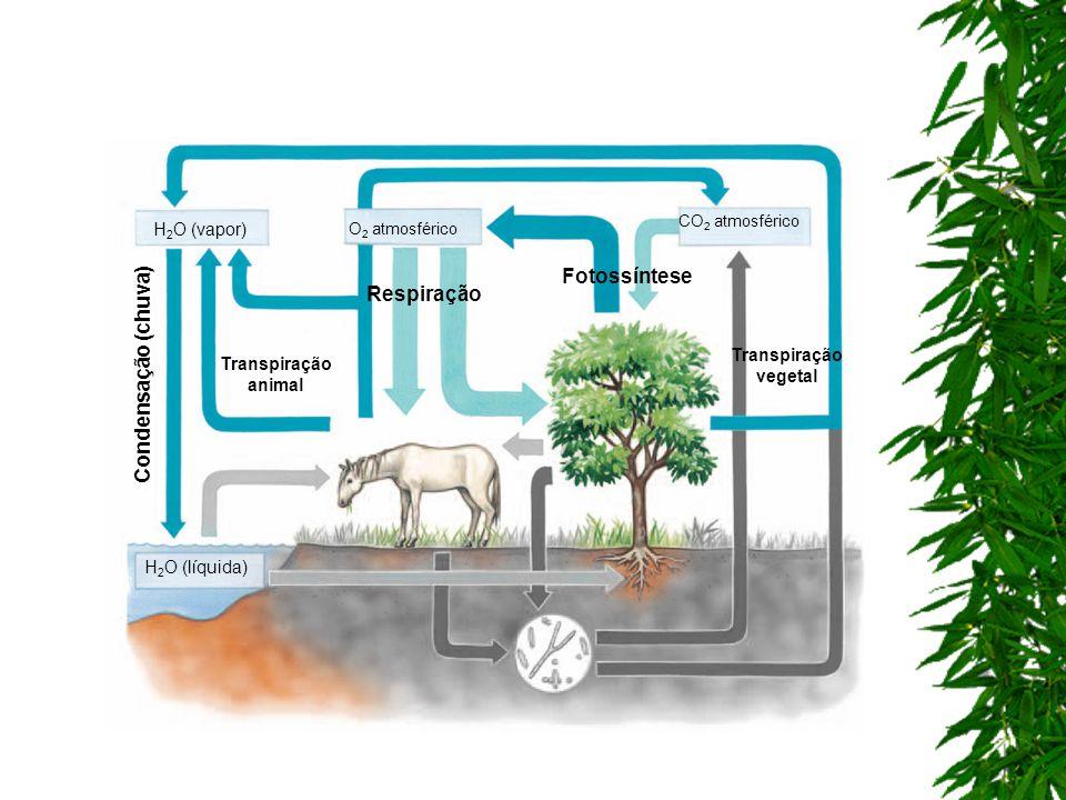 Fotossíntese Respiração Condensação (chuva) H2O (vapor)
