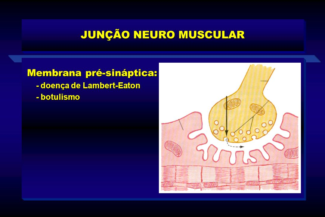JUNÇÃO NEURO MUSCULAR Membrana pré-sináptica: