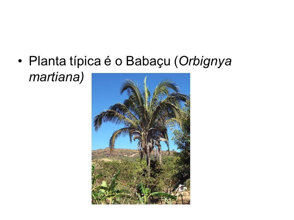 Planta típica é o Babaçu (Orbignya martiana)