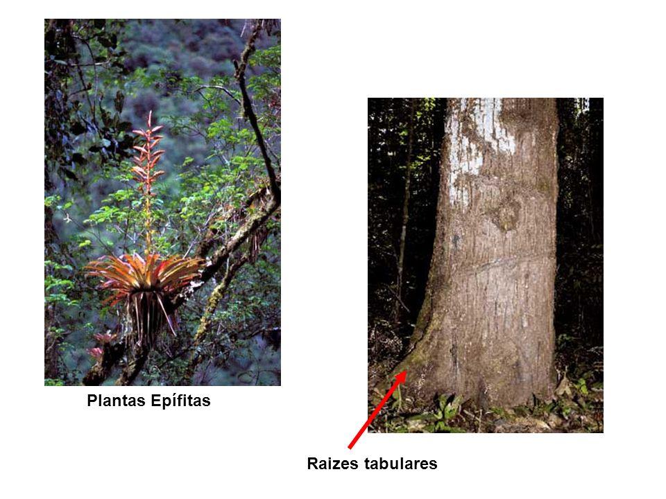 Plantas Epífitas Raizes tabulares