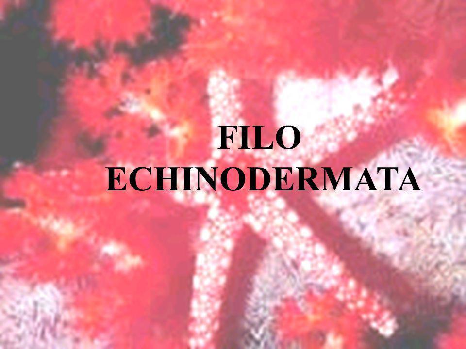 FILO ECHINODERMATA