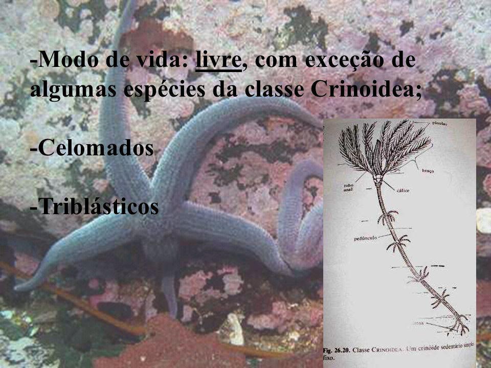 -Modo de vida: livre, com exceção de algumas espécies da classe Crinoidea;