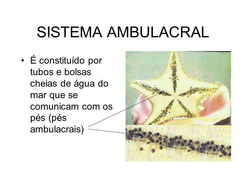 SISTEMA AMBULACRAL É constituído por tubos e bolsas cheias de água do mar que se comunicam com os pés (pés ambulacrais)