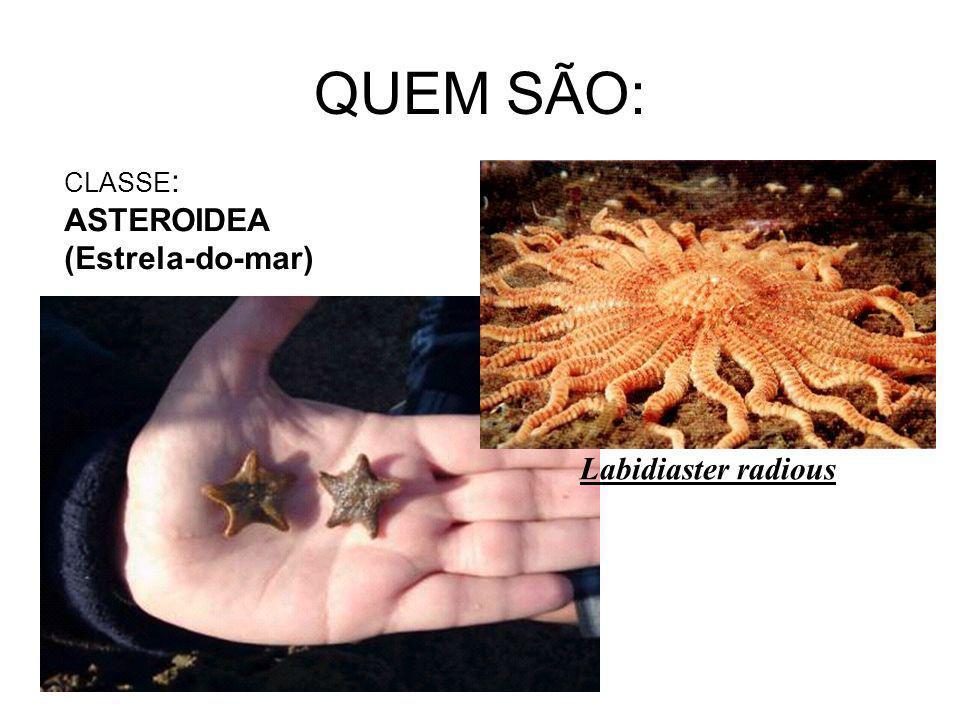 QUEM SÃO: CLASSE: ASTEROIDEA (Estrela-do-mar) Labidiaster radious