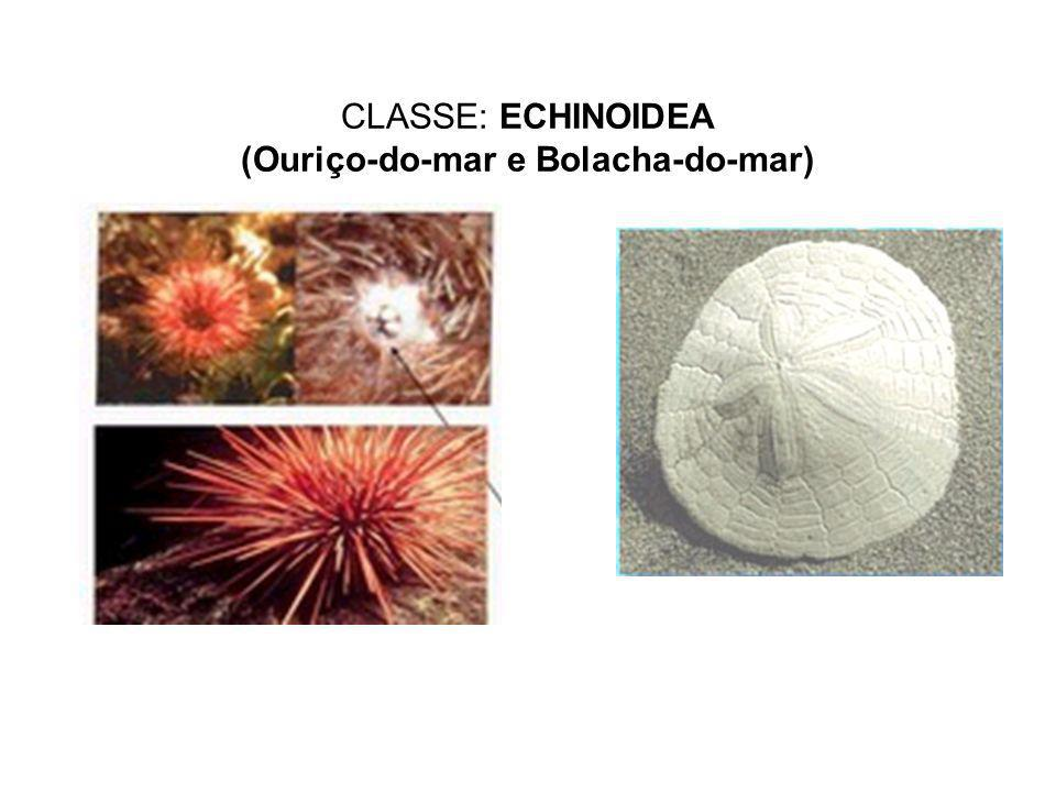 CLASSE: ECHINOIDEA (Ouriço-do-mar e Bolacha-do-mar)