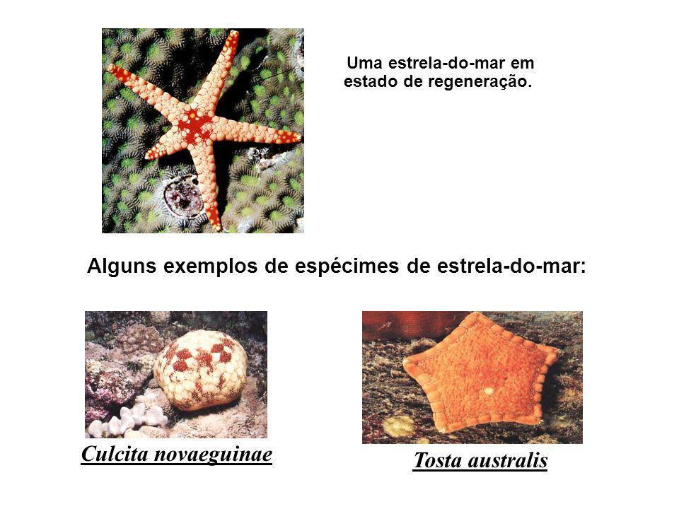 Alguns exemplos de espécimes de estrela-do-mar:
