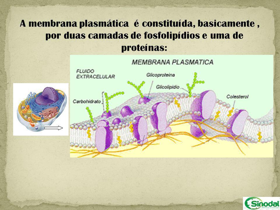A membrana plasmática é constituída, basicamente , por duas camadas de fosfolipídios e uma de proteínas: