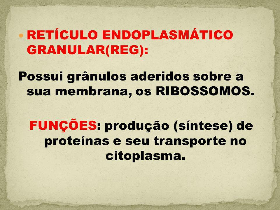 RETÍCULO ENDOPLASMÁTICO GRANULAR(REG):