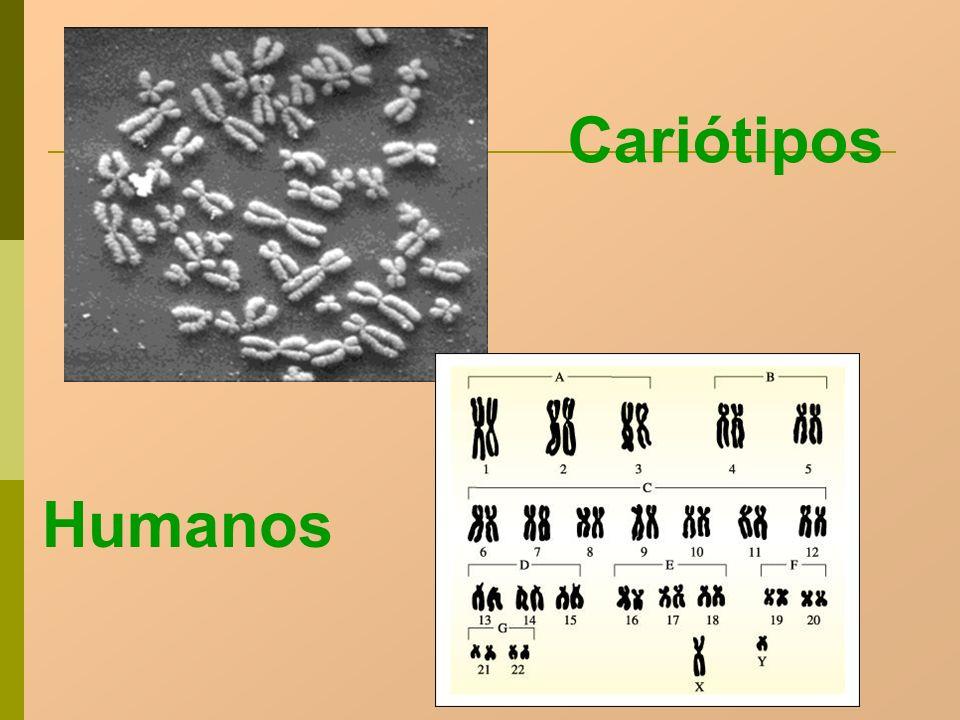 Cariótipos Humanos