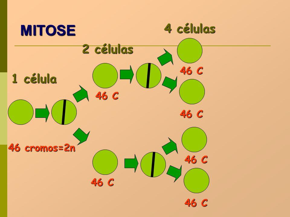 MITOSE 4 células 2 células 1 célula 46 C 46 C 46 C 46 cromos=2n 46 C